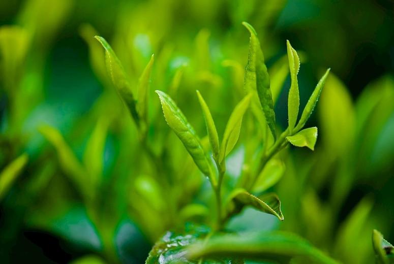 亮点 | 白茶茶树品种介绍